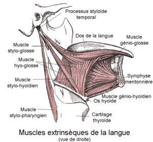 300px-muscles_extrins_c3_a8ques_de_la_langue